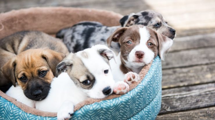 CDC: Pet store puppies linked to antibiotic-resistant outbreak in 13 states