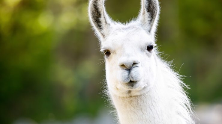 Llama antibodies could help in fight against Covid-19
